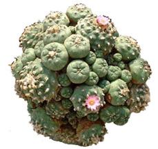 hallucingenic cactus