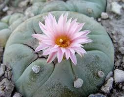 hallucinogenic cactus